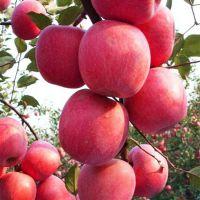 基地批发1-5公分 红肉苹果树苗 富士苹果苗