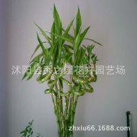 富贵竹批发 开运竹   弯弯转运竹 水培植物盆栽竹子