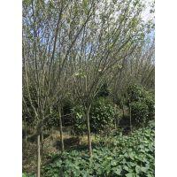 垂丝海棠种植 垂丝海棠工程苗 垂丝海棠5公分价格