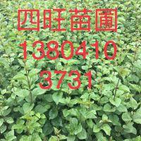 东北供应四季小叶紫丁香暴马丁香工程灌木播种小苗价格合理量大优惠
