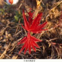 日本红舞姬怎么养殖-天津日本红舞姬-舜枫园林