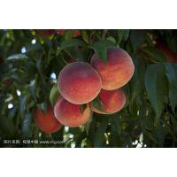 桃树水溶肥山西桃树膨果着色专用