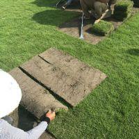 供应台湾青草坪 马尼拉草坪 用途 园林绿化