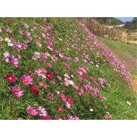 厂家直供广西省国道边坡绿化护坡草花种子三包服务