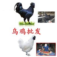 清镇土鸡苗孵化场 西宁附近鸡苗 哪里有贵妃鸡苗卖 贺州土鸡苗供应商