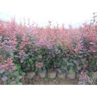丽都批发优质红叶小檗小苗 灌木小苗 工程绿化苗木 量大从优