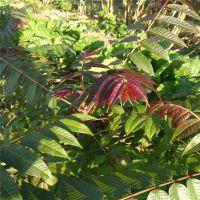 红油香椿树苗哪里多 营养丰富 口感好 林源香椿苗基地
