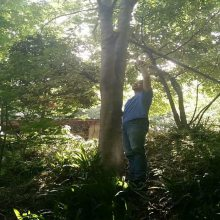 七叶树价格 供应七叶树 28—30CM七叶树价格 8000元起质量好价格低 规格齐全