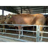 西门塔尔价格 西门塔尔牛肉牛犊厂家直销, 牛养殖 肉牛犊