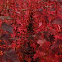 红点美国红枫基地价格 胸径8公分红点美国红枫基地 美邦红点红枫