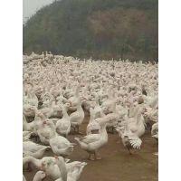 鹅苗多少钱一只-鹅雏孵化厂(在线咨询)-鹅苗