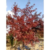 盆栽日本红枫苗-日本红枫-日照舜枫园林