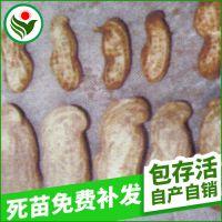 超吨特大花生吨花一号花生种子 高产抗病四粒花生种子批发