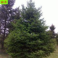 出售云杉树 风景树 带土球发货 成活率高 可签合同 3米4米5米6米 云杉价格