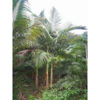 厂家直销供应 棕榈科植物 福建假槟榔树 海南棕榈植物批发