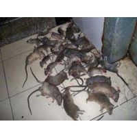 灭鼠公司深圳除四害服务公司专业上门灭四害灭鼠防治老鼠承包灭鼠工程