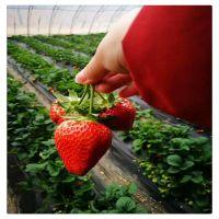 日本***优秀品种红颜草莓苗 红颜久久草莓苗 基地批发草莓苗