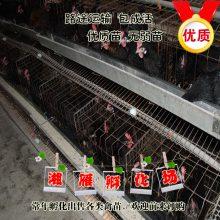 厂家直销正宗黑羽高产绿壳蛋鸡苗年产蛋300枚绿壳率95%包运输成活