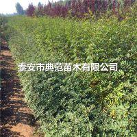 大红袍花椒苗多少钱一棵 大红袍花椒苗品种介绍