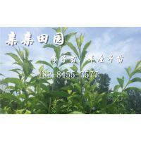 李子树苗新品种,凤凰李子苗批发价格多少钱