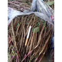 芍药种子质量 芍药多少钱一斤 签订回收合同 产地销售