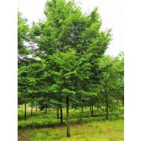 22公分榉树批发16公分榉树批发价格