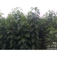 杜仲苗哪里有卖的 株高1米 量大从优 杜仲苗产地