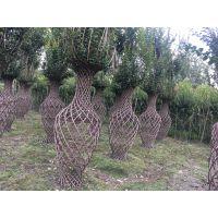 2米高编织花篮起苗,造型花瓶成活率怎么样?什么季节种植?