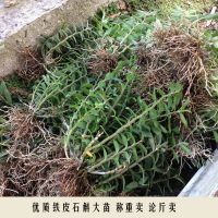 浙江雁荡山 软脚红杆铁皮石斛苗 两年苗三年 大苗 盆栽苗按公斤卖