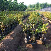 蓝莓种苗批发价格 批发蓝莓苗 价格优惠