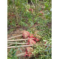 江西杜英小苗、2-3公分杜英树、4-5公分杜英新批发价、江西供应绿化乔木