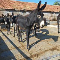 200斤德州驴肉驴价格 免费提供肉驴养殖技术