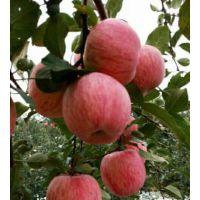 泰安黑苹果树苗富士红肉盆栽地栽南北方种植