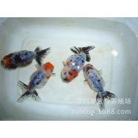 兰寿金鱼、国寿、日本兰寿——李村观赏鱼养殖场直批