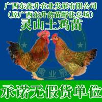 红河州绿春县-火鸡苗多少钱一只-西藏鸡苗-江西鸡苗批发