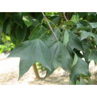 3公分,10公分,30公分三角枫苗木种植基地