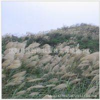 牧草种子正宗野芒草种子莽草种子 龙胆白薇能源作物 量大优惠