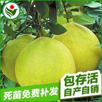 葫芦形果面光滑果皮薄黄绿色 果肉黄白色超甜早蜜柚果树苗