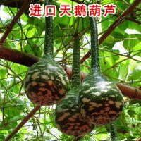 进口天鹅葫芦籽长柄葫芦种子特色观赏爬藤南瓜种子阳台庭院夏播