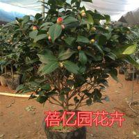 直销各种名贵茶花盆栽 带花苞茶花香茶 五色赤丹 六角大红等茶花