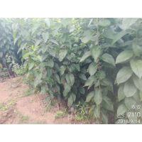 杜仲树苗报价 优良品种 种类齐全 杜仲苗产地