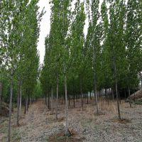 山东107杨树苗价格 杨树插条种植技术 1公分-3公分规格 扦插段一根多少钱