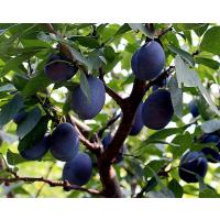 加州西梅苗 李子果树苗 水果嫁接苗 加州西梅苗价格 基地种植