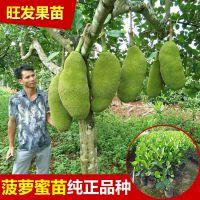 供应四季菠萝蜜嫁接果树苗 大树菠萝蜜嫁接树苗可盆栽地栽可多次结果