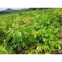 大量批发龙眼苗直生苗龙眼实生树苗绿化树 可盆栽地栽营养杯苗 品种纯正树形高大 规格齐全 量大价优