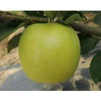苹果树苗、新2001富士苹果树哪里有卖