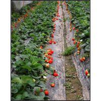 供应优质章姬草莓苗根系发达涨势好,保湿邮寄!基地直供红颜,甜查理