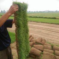 青岛草坪种植 小区草皮多少钱 草皮铺设