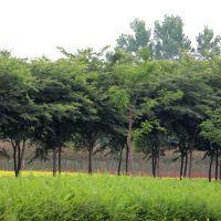 四川供应榉树,精品红榉树6-22公分常年批发