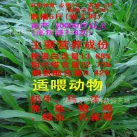 牧草羊牛鹅鸡兔喂养墨西哥玉米草优12 高产 高蛋白  种子批发